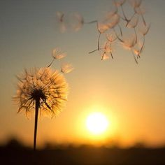 Apr 2020 - Photographic Print: Dandelion against the Backdrop of the Setting Sun by Olga Zarytska : Dandelion Wallpaper, Sun Aesthetic, Nature Pictures, Cute Wallpapers, Find Art, Framed Artwork, Beautiful Flowers, Nature Photography, Abstract Photography