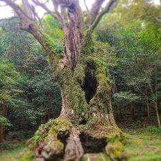 【koikechaan】さんのInstagramをピンしています。 《* 「佐賀の大楠 」②。 · 色んな意味で、人間ってちっぽけね。って思うね😵 後で知ったけど、同じ武雄エリア内でこの大楠より大きい「川古の大楠」っていう巨木もあるらしい。 · また行かなきゃ。 こないだまた武雄行ったんだけど、、 時間なくて見に行けんかった😭 · · #自然 #景色 #風景 #癒し #緑 #パワースポット #カメラ女子 #森 #綺麗 #写真好きな人と繋がりたい #佐賀 #苔 #LUMIX #landscape #Nature #scenery #japan #photo #view #healing #green #instagood #beautiful #photooftheday #instalike #instadaily #photography #Excitement #Force #moss》