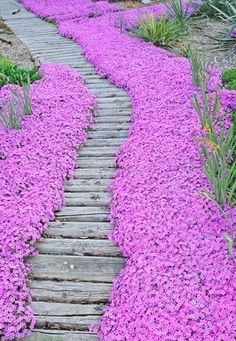 Bright pink Creeping Phlox borders this wood garden pathway. This flower blooms in the springtime for 4 to 6 weeks and is a real showstopper. For Summer bloom add Lavender into the middle of the garden next to the Creeping Phlox