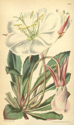Tufted Evening Primrose, Fragrant Evening Primrose. Oenothera caespitosa ssp. marginata (1870).