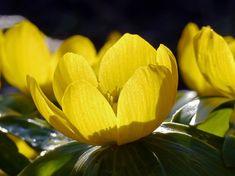 Garden, Winter Linge, Blossom, Bloom #garden, #winterlinge, #blossom, #bloom