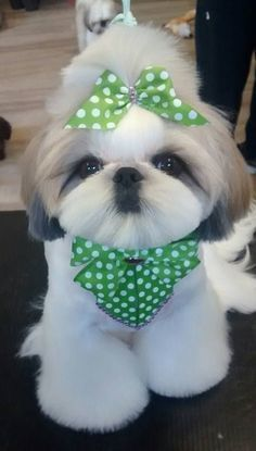 best picture ideas about shih tzu puppies & oldest dog breeds best picture ideas about shih tzu puppies & oldest dog breeds Source by CoolIdeasuLove The post best picture ideas about shih tzu puppies & oldest dog breeds appeared first on Dogs GP. Shih Tzu Hund, Perro Shih Tzu, Shih Tzu Puppy, Shih Tzus, Shitzu Puppies, Cute Puppies, Cute Dogs, Retriever Puppies, Bichon Frise