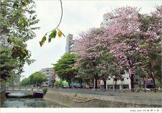 洋紅風鈴木--中興大學ㄝ,花期約二週,隨著四季變化而更換風貌