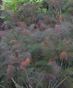 2 Bronze fennel Purple Edible Perennial Bulb plant Hardy Beneficial Naturaliser
