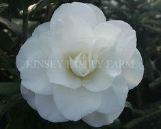 'Charlie Bettes' Camellia japonica. White semi double flowers. Kinsey Family Farm Gainesville, GA.
