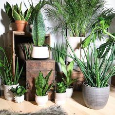 sansevieria, palm