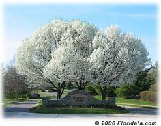 Cheap pear tree seeds, Buy Quality easy grow directly from China bonsai seeds Suppliers: Buy Bean Pear Tree Seeds Easy Growing Plant Wild Fruit Callery Pear Grow Pyrus Calleryana Bonsai Seeds AA Ornamental Pear Tree, Flowering Pear Tree, Pear Trees, Bonsai Seeds, Tree Seeds, Dwarf Evergreen Trees, Small Front Yard Landscaping, Landscaping Design, Landscaping