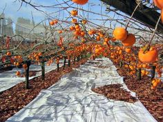 These Fuyu persimmons are ready for picking. In New Zealand, persimmons are harvested in May and June, just after leaf fall. The shoots of the tree are trained over trellis frames to help support the weight of fruit.