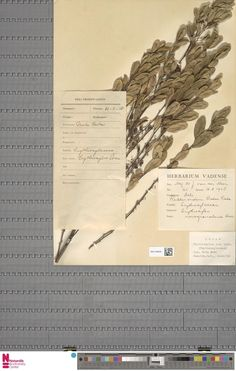 WAG.1930545 | Erythroxylum novogranatense (Morris) Hieron.