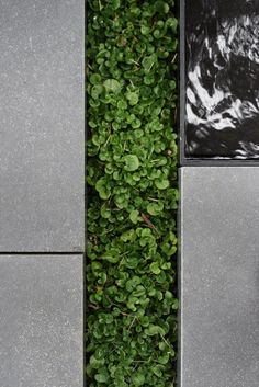 honed bluestone paved the way through the custom-designed water feature which had a slab of stone laying just below the surface to create a ripple effect. For ground cover, Dichondra Repens was used and placed between the steppers. Seascape Lomandra was planted en mass