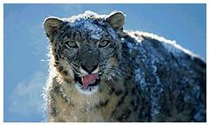 Snow Leopard in Sagarmatha National Park