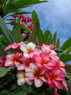 Hawaiian Plumeria | Photographed at Koko Crater Botanical Ga… | Flickr