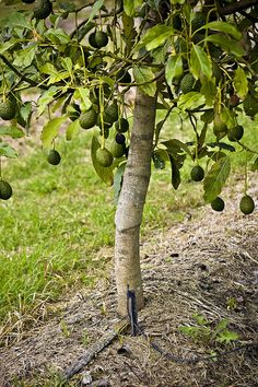 avocado tree...    there's been some talk recently about the possible inevitability of us ending up in los angeles, hence the thoughts of fruit trees... Dragon Fruit Plant, Fruit Tree Garden, Fruit Plants, Fruit Trees, Trees To Plant, Avocado Tree Care, Indoor Avocado Tree, Hass Avocado Tree, Durian Tree