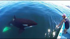 Unique Orca encounter in the Sea of CortezBahia de los Angeles Mexico. Orcas, Flipper, Baja California, Save The Whales, Rare Animals, Strange Animals, Wale, Ocean Creatures, Killer Whales
