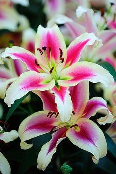 My all time favorites.  They were my wedding bouquet on March 4, 2000 when I married my Griz. :)*  <3  ^Oriental Lilies