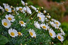 Oxeye Daisies  margaritas blancas