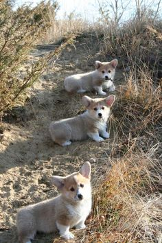 One little, two little, three little Corgis...!