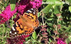 Buddleja Miss Molly Compact, Animals, Shrubs, Papillons, Animales, Animaux, Animal Memes, Animal, Animais