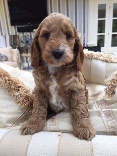 Cute Baby Dogs, Cute Dogs And Puppies, Cute Babies, Cockapoo Puppies, Labradoodle, Crazy Dog Lady, Cute Animals, Pets, Life
