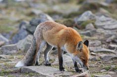 animals / fox / lis / Babiogórski Park Narodowy (BPN) / Babia Góra  #przyroda #zwierzęta #lis #fox #animals #Babia Góra #Beskidy #BPN #Babiogórski Park Narodowy #góry #szlaki górskie #górskie wędrówki #turystyka górska #Poland #Polska