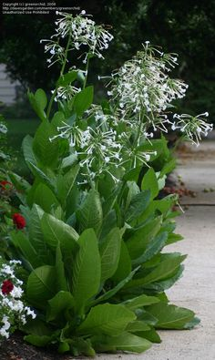 PlantFiles Pictures: Nicotiana Species, Woodland Tobacco, Flowering Tobacco, South American Tobacco (Nicotiana sylvestris) by greenorchid Back Gardens, Outdoor Gardens, Shade Garden, Garden Plants, Shade Flowers, Garden Borders, White Gardens, Dream Garden, Garden Planning