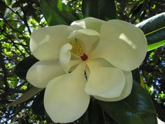 Southern Magnolia.