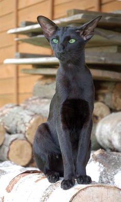 Флер Патри Сахмет, ориентальная кошка, окрас черный (ORI n)