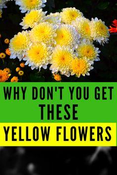 Don't wait any longer and get these Yellow Flowers #plantophiles #yellowflowers #yellowflowersaesthetic Tall Plants, Outdoor Plants, Powdery Mildew, Primroses, Evening Primrose, Rose Bush, Black Eyed Susan, Organic Matter, Begonia