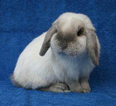 Rabbits In Australia, Mini Lop, Rabbit Photos, Bunny Care, Blue Point, Bunny Rabbits, Cute Bunny, Cute Baby Animals, Poppies