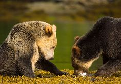 British Columbia may be home to as many as half of Canada's remaining grizzly bears - and the last best hope to maintain healthy populations south of the 60th parallel.