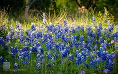 Texas Blue Bonnets. one of many reasons I don't think I could ever permanently leave Texas. Courtesy of Texas Parks & Wildlife.