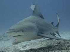 Diving with Bullsharks in Playa del Carmen a must do in your Vacation Diving, Shark, Vacation, Animals, Playa Del Carmen, Vacations, Animales, Scuba Diving, Animaux