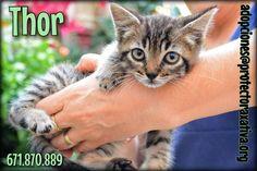 Adopta a THOR ( Europeo ) - #adopta #gatos