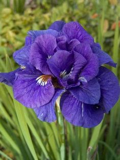 Purchase our Kabluey Double Siberian Iris. Add elegance and drama with this truly unique Iris! The double blue flowers have a white center and are held well . Iris Flowers, Small Flowers, Spring Flowers, Purple Flowers, Beautiful Flowers, White Flowers, Exotic Flowers, Yellow Roses, Pink Roses