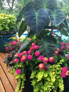 Colocasia, Lantana and Lysimachia makes a beautiful container for all summer color!                                                                                                                                                      More