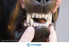 April fools jokes for dentists: Invisalign clear braces for dogs!