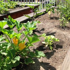 Raised veggie beds planted 4/2 picture taken 5/24. Bell peppers are still small.