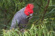 New research has finally resolved the matter, with the Gang-gang Cockatoo being recognized as a distinctive early offshoot of the calyptorhynchine (dark) cockatoos. Description from planetofbirds.com. I searched for this on bing.com/images