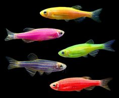 GloFish® Danio Collection
