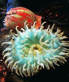 Coral Color Sea Anenome by moonjazz, via Flickr