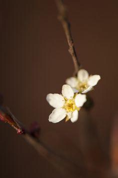Spiraea thunbergii 'Ogon' — Photo by Ivo M. Vermeulen