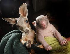 Baby Wombat & Baby Kangaroo