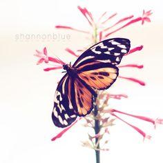 butterfly nature photography / orange, black, stripes, red, white, mariposa / papillon / 8x8 fine art photo