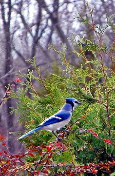 Bluejay - I once saw six different bluejays pecking around the train tracks in Washington Square, Brookline.  I had never before, and never since seen more than two together at once.