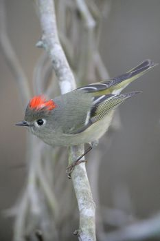 Ruby-crowned Kinglet by Greg Lavaty (117 pieces)