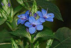 Winter Blue Sage plant Exterior House Colors, Exterior Paint, Hummingbird Habitat, Sage Plant, Rainforest Plants, Blue Plants, Winter Blue, Plant Sale, Flower Pictures