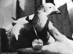 On a wing and a prayer: Carrier pigeon MPS42 is pictured with his Dickin Medal after returning three times from occupied Europe