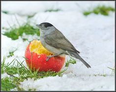 Blackcap (Sylvia atricapilla), Garden, January 2013, via Flickr.