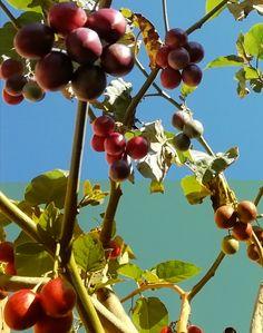 In my Garden – The Tamarillo/ Tree Tea Tomato wanaabeehere Beta Carotene, Yummy Smoothies, Eating Raw, In The Flesh, Tea Tree, Chutney, Superfood, Turmeric, Tomatoes