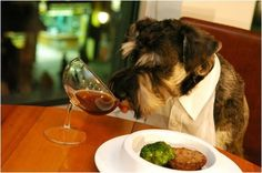 A schnauzer having beautiful table manners!